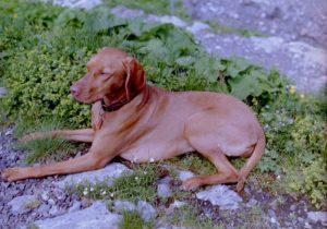 MeinFerienhund - König Hajdu