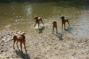 MeinFerienhund - Vizslas am Wasser