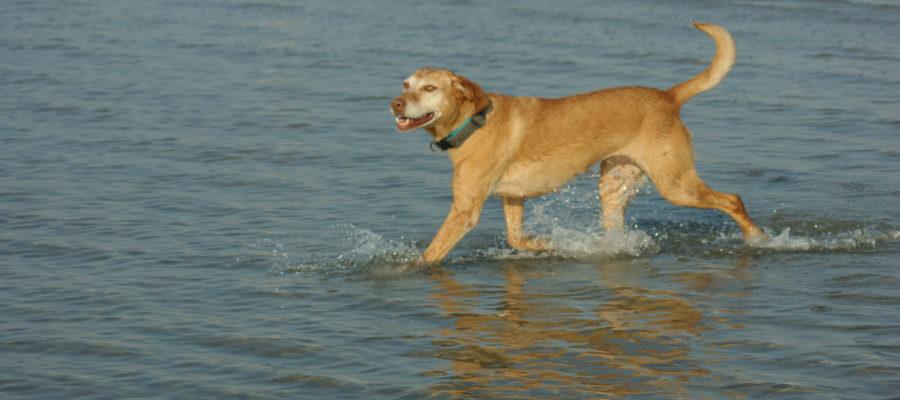 MeinFerienhund - Lucy, ca. 4-jährige Vizsla-Mix-Hündin