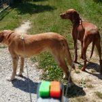 Wigzi® Dual Doggie Doppel-Rollleine
