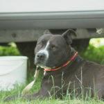 Kampfhunde nach französischem Gesetz