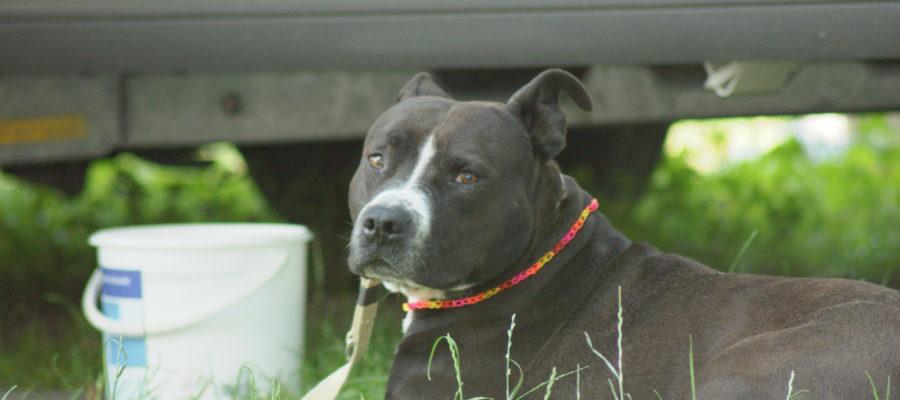 MeinFerienhund - Kampfhunde